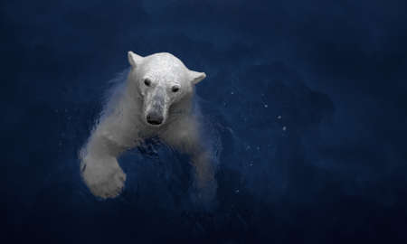 Swimming polar bear, white bear in water Banque d'images