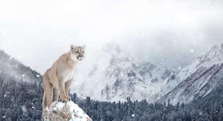Portrait of a cougar, mountain lion, puma, Winter mountains