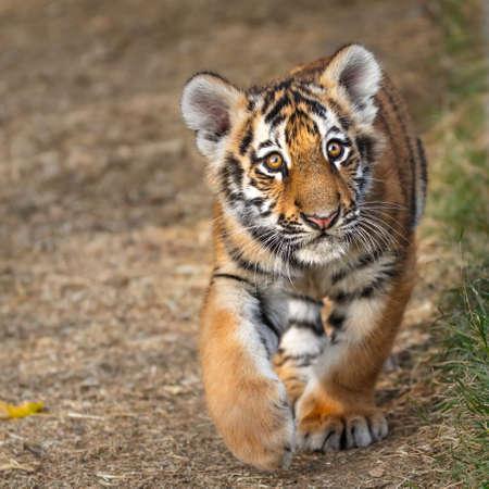 Retrato del cachorro de tigre. Tiger jugando (Panthera tigris) Foto de archivo