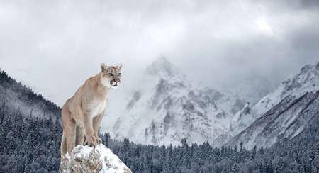 퓨마, 산 사자, 퓨마, 겨울 산의 초상화 스톡 콘텐츠
