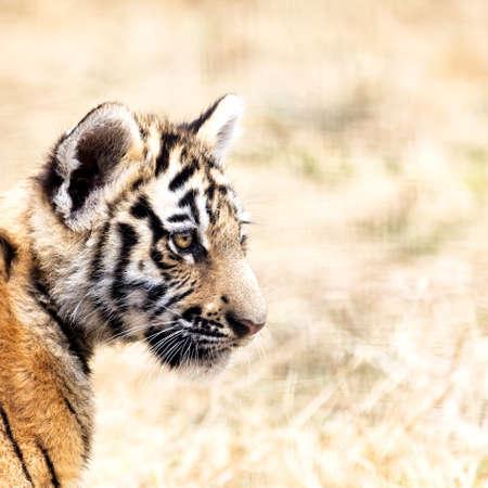 tigre cachorro: Retrato del cachorro de tigre. Tiger jugando (Panthera tigris) Foto de archivo