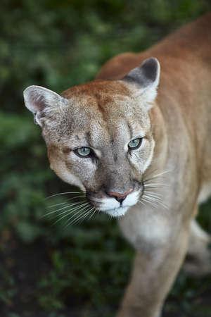 Ritratto di bella Puma. Cougar, leone di montagna, puma, pantera, posa sorprendente, scena nel bosco, fauna selvatica America.