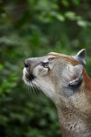 Portrait of Beautiful Puma. Cougar, mountain lion, puma, panther, striking pose, scene in the woods, wildlife America.