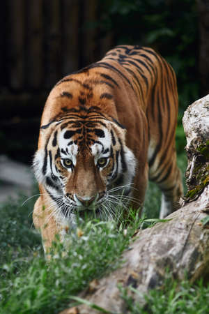 Siberian tiger (Panthera tigris altaica), also known as the Amur tiger. Banque d'images - 137666508