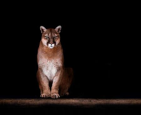 Portrait of Beautiful Puma, Puma in the dark. American cougar. Archivio Fotografico