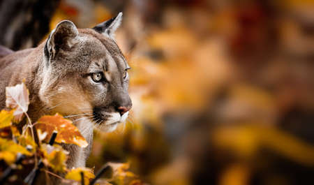 Portrait of Beautiful Puma in autumn forest. American cougar - mountain lion, striking pose, scene in the woods, wildlife America.