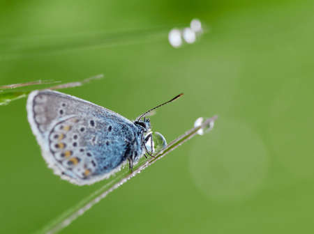 Blue Spotted Butterfly Sitting On A Branch Of Heather In A Morning Dew. Beautiful butterflies and a drop of dew.