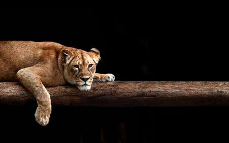 Lioness Portrait in the dark.