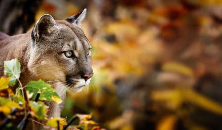 Ritratto di bella Puma nella foresta di autunno. Cougar americano - leone di montagna, posa sorprendente, scena nel bosco, fauna selvatica America. Archivio Fotografico