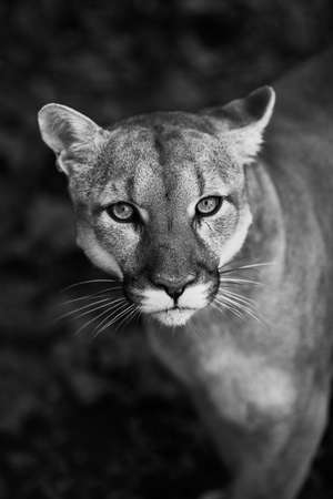 Portrait of Beautiful Puma. Cougar, mountain lion, puma, panther, striking pose, scene in the woods, wildlife America. Stock Photo