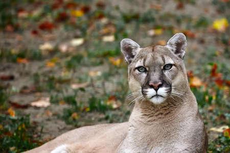 Ritratto di bella Puma nella foresta di autunno. Cougar americano - leone di montagna, posa sorprendente, scena nel bosco, fauna selvatica America.