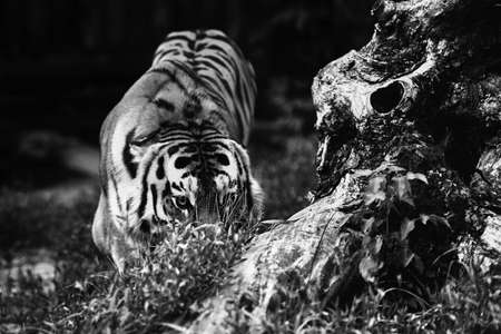 Siberian tiger (Panthera tigris altaica), also known as the Amur tiger. Banque d'images - 137738985