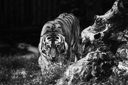 Siberian tiger (Panthera tigris altaica), also known as the Amur tiger. Banque d'images - 137739274