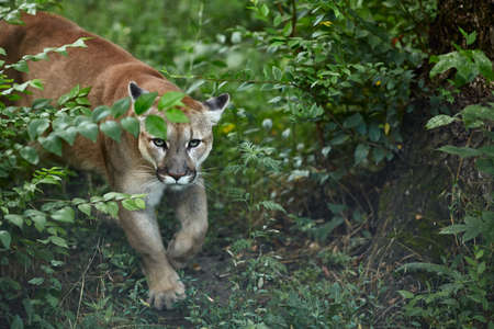 Portrait of Beautiful Puma. Cougar, mountain lion, puma, panther, striking pose, scene in the woods, wildlife America. 版權商用圖片
