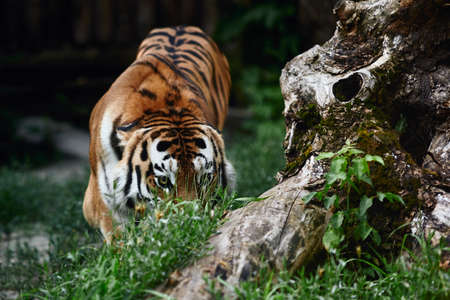 Siberian tiger (Panthera tigris altaica), also known as the Amur tiger. Banque d'images - 137739302