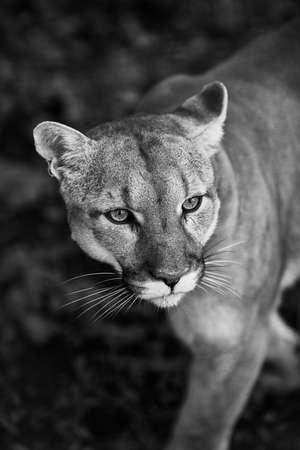 Portret pięknej pumy. Puma, lew górski, puma, pantera, efektowna poza, scena w lesie, dzika przyroda Ameryka. Zdjęcie Seryjne