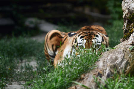 Siberian tiger (Panthera tigris altaica), also known as the Amur tiger. Banque d'images - 137740073