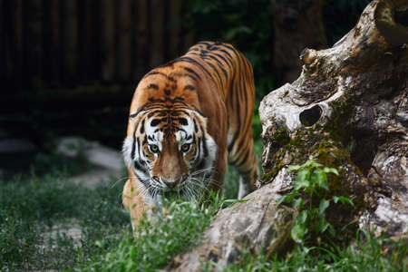 Siberian tiger (Panthera tigris altaica), also known as the Amur tiger. Banque d'images - 137740410