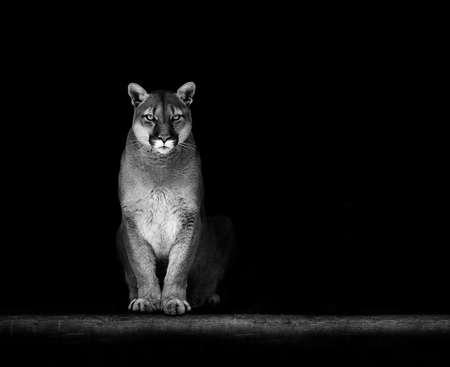 Portrait of Beautiful Puma, Puma in the dark. American cougar. Stock Photo