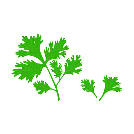 Parsley leaf in flat style isolated illustration on white background. Green fresh parsley vector.