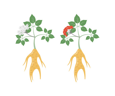 Ginseng icons on the white background. Vector illustration.