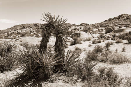 national plant: Yucca plant in desert at Joshua Tree National Park, California, USA, in sepia colors