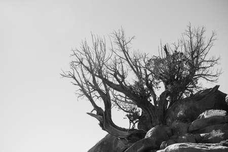 Alter Baum in der Wüste in Weiß und Schwarz, Arizona, USA Standard-Bild