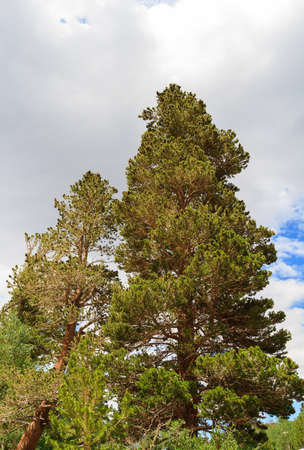 inyo national forest: Pine Tree in Inyo National Park, California, USA