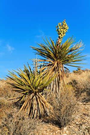 yucca: Blooming Yucca Plant in Southern Nevada, USA