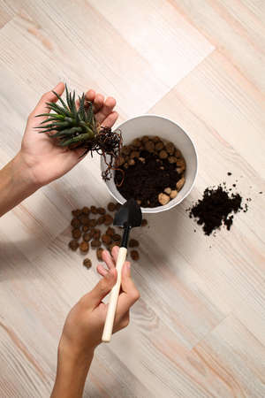 Young hands hold the plant and prepare to plant them in a pot. Caring for home plants with potted flowers. View from above. Homework transplant, pleasure and enjoyment of work, relaxation, rest.