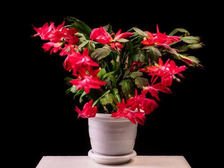 Red Schlumbergera truncata flowers in flowerpot, Christmas and Thanksgiving cactus, Craciunel. Black background.