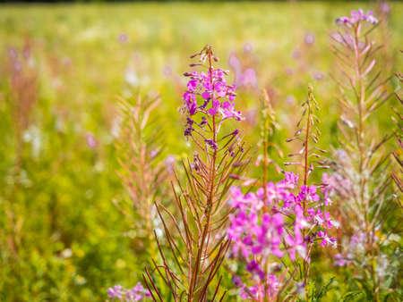 Chamerion Angustifolium (Fireweed, Great Willow-herb, Rosebay Willowherb), Shallow depth of field. Stock Photo
