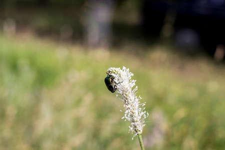 scarab: flower chafer scarab beetle or may bag