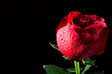 Flower of a red rose on a black background with dewdrops Stock Photo