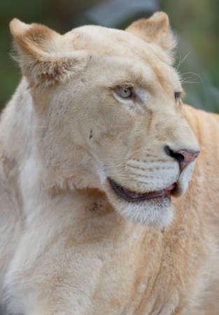 white lioness portrait Stock Photo - 343546