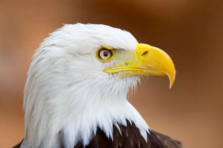 bold: Bold eagle portrait