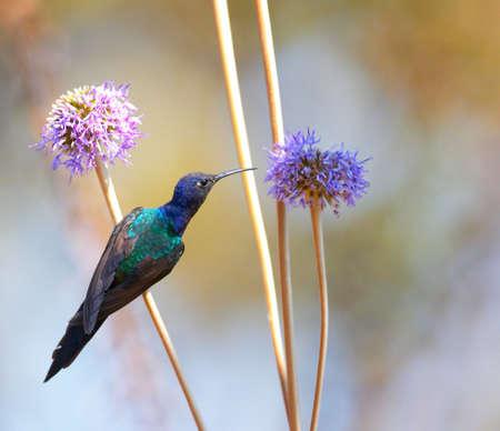 Hummingbird feeding on the flower 2 Stock Photo - 343542