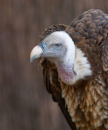 Vulture portrait Stock Photo - 343535