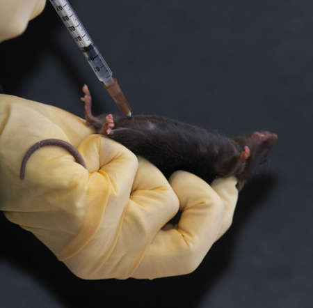 syringe pump: Laboratory mouse given intraperitoneal injection 2 Stock Photo