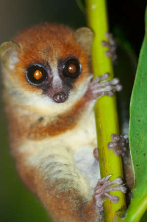 Wild mouse lemur, Madagascar 2