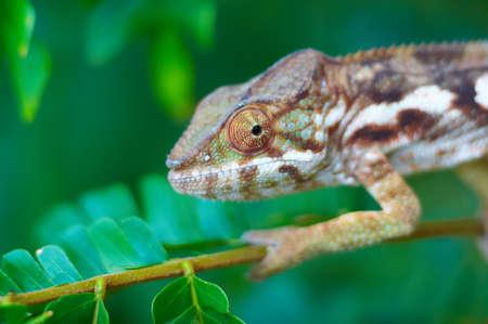 Wild chameleon, Madagascar Фото со стока