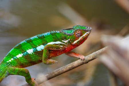 Wild chameleon walking, Madagascar
