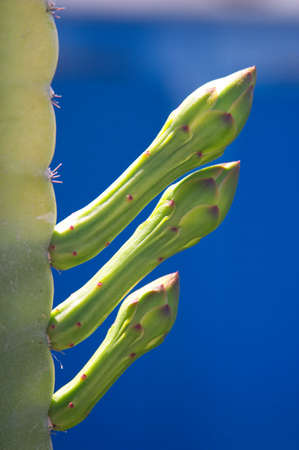 manhood: Cactus Stock Photo