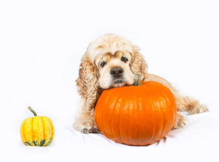 Cocker spaniel and pumpkins isolated on white background photo