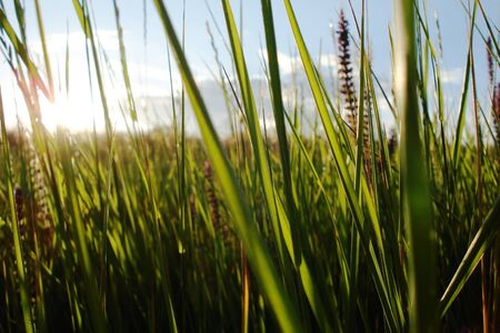 Feather green grass on blue sky  photo