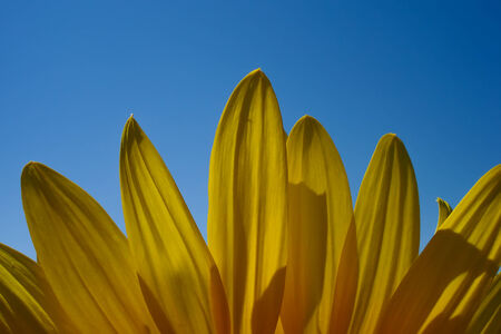 sunflower petals photo