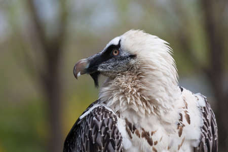 portrait of an eagle, Aquila clanga in zoo  photo