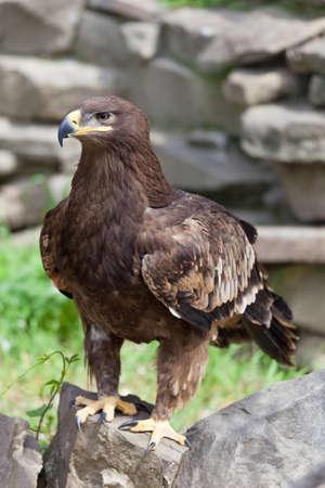 portrait of an eagle, Aquila clanga