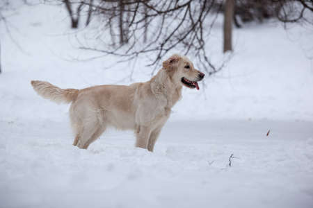 Retriever, happy winter, Walk with a friend photo