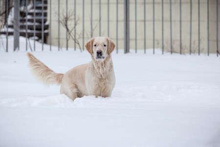 Retriever, happy winter, Walk with a friend Stock Photo